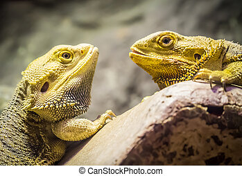 Yellow bearded dragons looking at each others