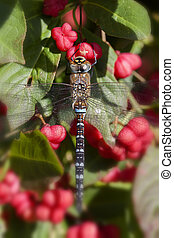 Autumn Hawker - spindle bush - Autumn Hawker on a Common...