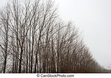 Trees - Row of bare leafless trees in winter