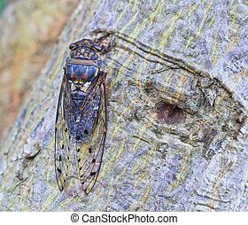 insecto, cigarra, árbol