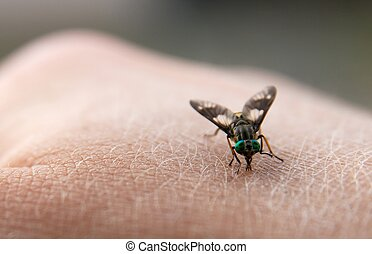 Insect - Big nasty fly biting in human skin