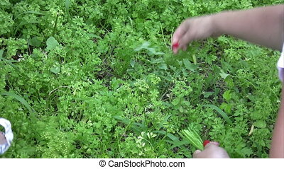 Female hand picking parsley outdoors