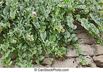 caper plant on the wall - mediterranean caper plant on the...