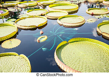 Large Lilly Pads in Blue Water - Large green lilly pads in a...