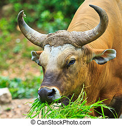Banteng, red bull in rainforest of Thailand