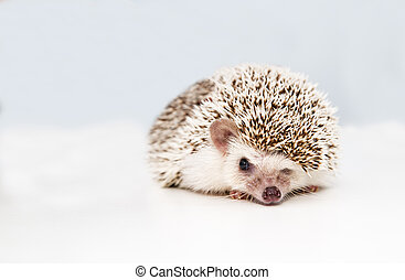Hedgehog on white studio background squeezes eye - Small...