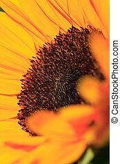 Fine art sunflower