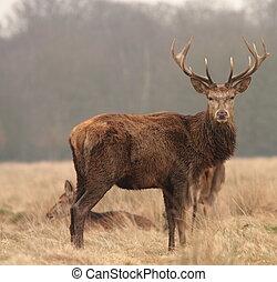 deer - staring deer