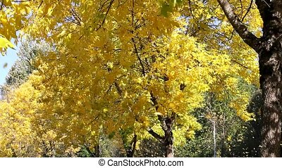 Yellow Falling Leaves Beech Trees - Yellow Falling Leaves...