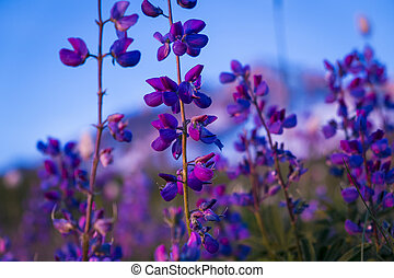 Blue lupine wildflower in high mountains of Oregon