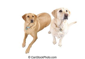 pair of White Labradors - A pair of female White Labrador...