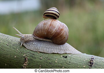 Two snails on leaf. (Helix pomatia and Cepaea vindobonensis)