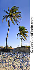 Coconut palm trees - Vertical panorama of two coconut palm...