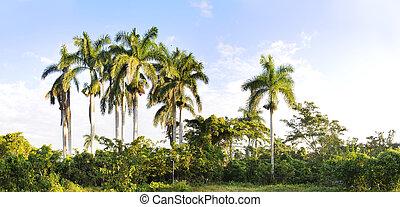Royal palm trees panorama