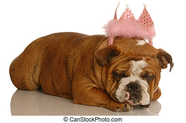 spoiled dog - english bulldog wearing pink tiara - spoiled...