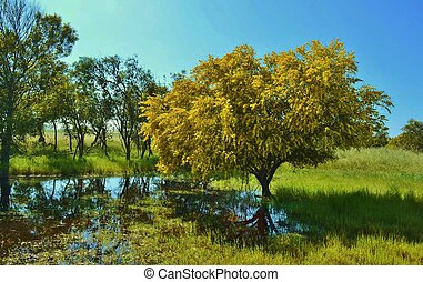 Mimosa tree - Landscape with yellow flowering mimosa tree