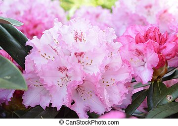 Rhododendron - Pink blossoms of a rhododendron bush
