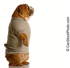 dog standing looking up - english bulldog standing up...