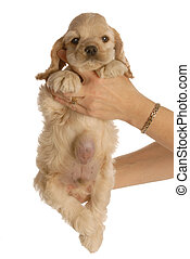 puppy with umbilical hernia - american cocker spaniel puppy...