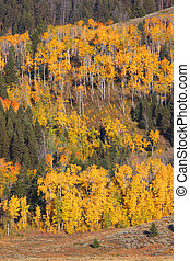 Aspen trees - Golden yellow aspen trees on the hill