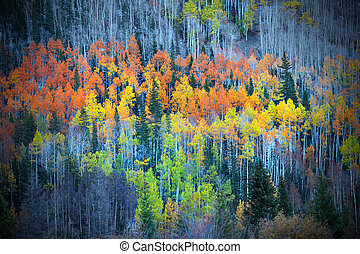 Colorful Aspens - Colorful Aspen trees on the mountain top