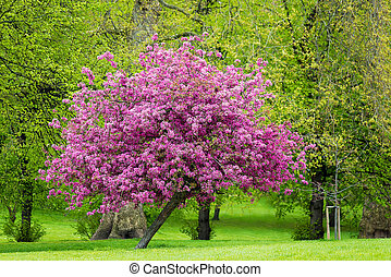 Blossoming pink tree in a park, spring season