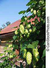 bush hop with cones on a background of rthe rural house.