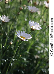 fiels of daisy flowers - beautiful daisy flowers