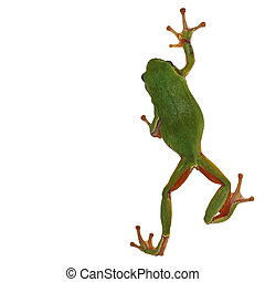 tree frog isolated on white - European tree frog isolated on...