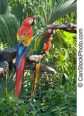 Scarlet Macaw Parrots - A pair of Scarlet Macaws posing at...