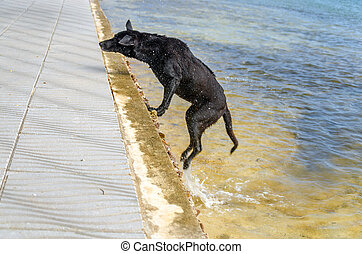 Wet Caribbean Dog - Dog jumping out of the Caribbean Sea...