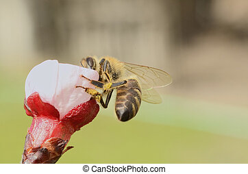 Honey Bee Collecting Nectar From an Apple Blossom - Busy...