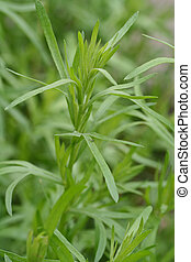 tarragon - the herb plant tarragon in natural environment