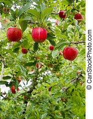 Vertical Composition Red Apples Growing Eastern Washington Fruit