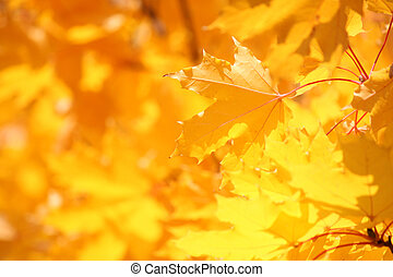 maple tree leaves at fall