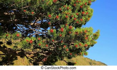 Pine tree branches.
