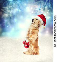 Dachshund dog with Santa hat holding Christmas baubles -...