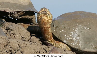 Helmeted terrapin - Portrait of a helmeted terrapins...