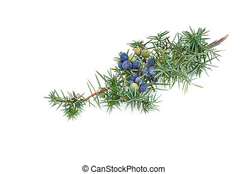 juniper branch with berries on white background