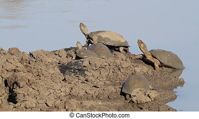 Helmeted terrapins Pelomedusa subrufa resting at the water...