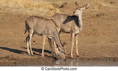 Kudu antelopes drinking - Kudu antelopes (Tragelaphus...