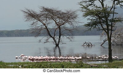 Lesser flamingos - Small group of lesser flamingos...