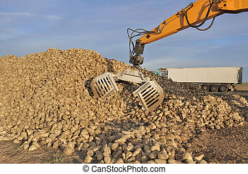 harvest sugar beets - agricultural equipment for sugar beets...