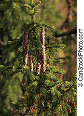 coniferous resin - pine cones detail of natural coniferous...