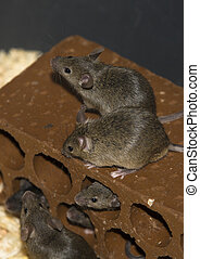 Mice on brick - Containers to breed rats and mice, food...