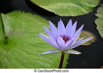 Violet vivid lotus in garden