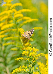 brush-footed butterfly on goldenrod - This is a photo of a...