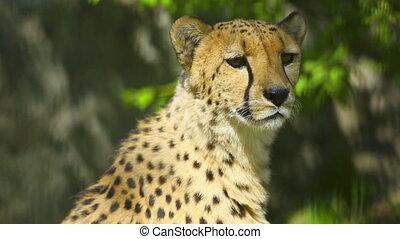 Cheetah - Young cheetah male calling cheetah female