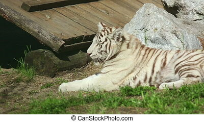 White tiger - Young white tiger lying in the grass