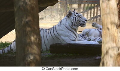 White tigress - Gorgeous white tigress lying on the grass...